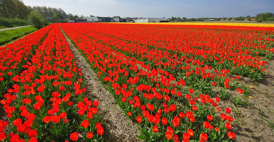 Giethoorn Tulip Fields Holland Private Tour
