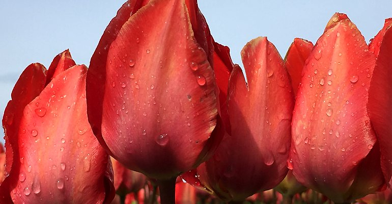 Keukenhof Tulip Park Netherlands