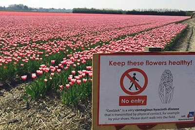 Best Tulip Fields Amsterdam Holland - Dont Enter