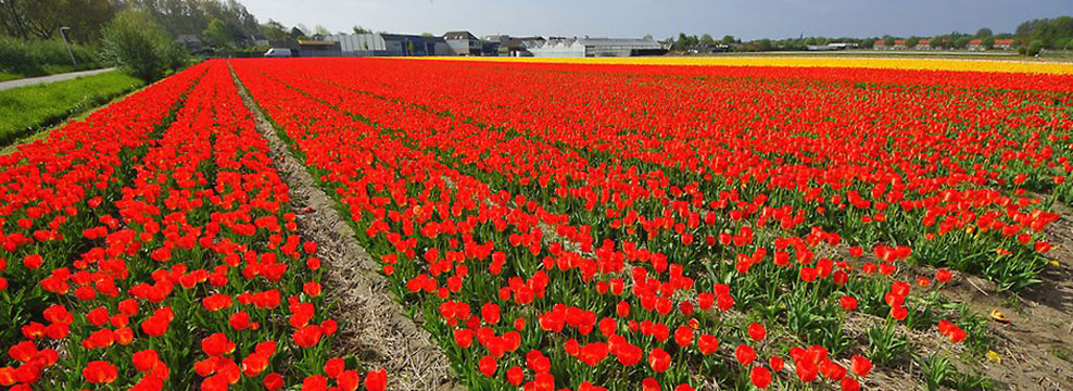 In season the largest tulip fields are in the Noord Oost Polder