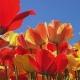Tulip Season in the Netherlands